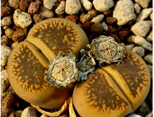 Lithops aucampiae 'Storms's Snowcap' С392 (MG-1550.54) - 5 семян