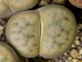 Lithops schwantesii C145 (MG-1713) - 5 семян