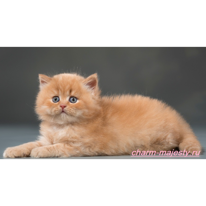 photo British longhair kitten red carrier cinnamon cattery charm majesty