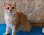 Кошка - Angelina Gold British Cat, BRI ny 11