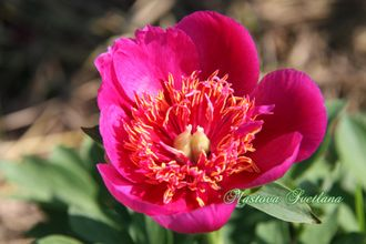 Paeonia  Dutch Dwarf