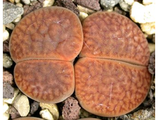 Lithops hookeri v.marginata (red-brown form) C053 (MG-1616.06) - 5 семян