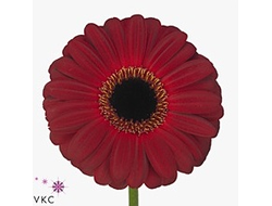 Gerbera diamond dark diamond