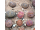 Lithops aucampiae Danielskuil (MG-1541.985) - 5 семян