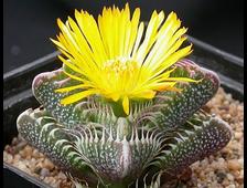 Список комнатных растений-суккулентов