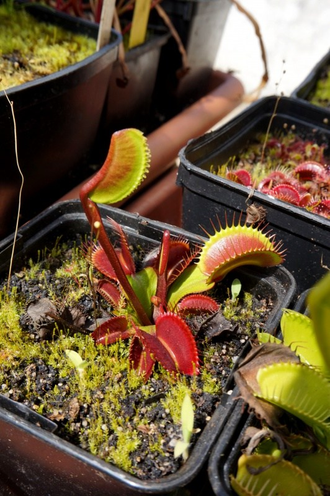 Dionaea muscipula All red