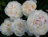 Пион Адмирал (Paeonia The Admiral)