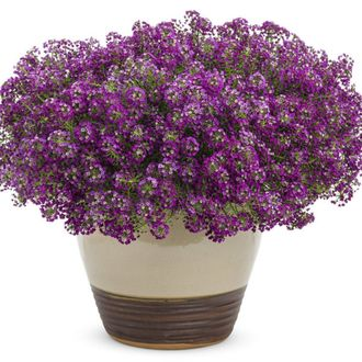 Лобулярия Принцес ин перпл Lobularia Princess in Purple
