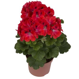 Пеларгония Pelargonium Grandiflorum Elegance Coral Sunset