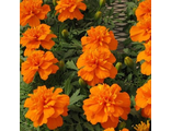 Тагетес TAGETES, FRENCH DWARF CRESTED BONANZA DEEP ORANGE