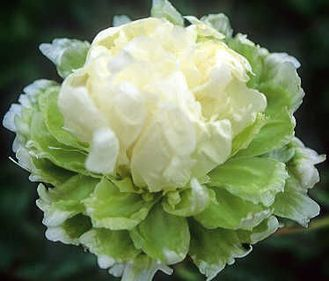Пион Грин Хэйло (Paeonia Green Halo)