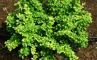 Барбарис Тунберга Грин Карпет (Berberis thunbergii Green Carpet)
