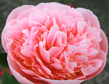 Пион Этчед Сэлмон (Paeonia Etched Salmon)