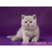 photo british shorthair kitten lilac color