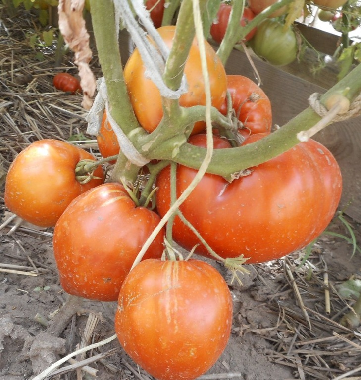 купить семена минусинских томатов в красноярске