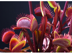 "Dionaea muscipula ""Clayton's Volcanic Red"""