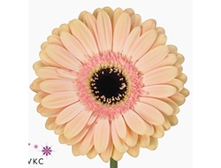 Gerbera diamond alliance