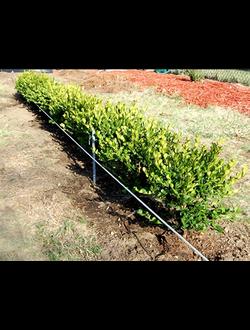 Посадка однорядной живой изгороди из лиственных растений.