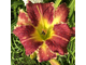Лилейник Эйт Майлз Хай (Hemerocallis Eight Miles High)