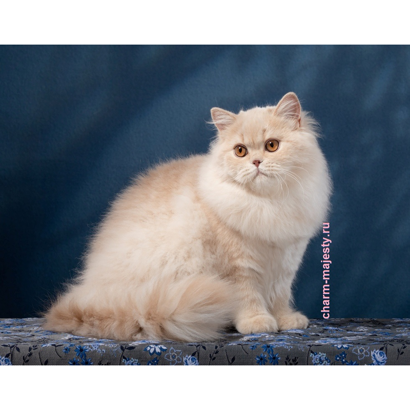 photo British longhair kid lilac tortie carrier cinnamon cattery charm majesty