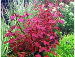 Ludwigia natans Super red