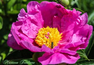 Paeonia Tropical BONNET