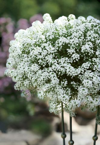 Лобулярия Сноу Принцес Lobularia Snow Princess