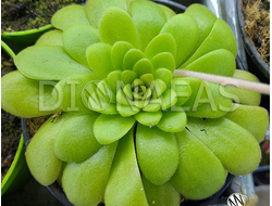 Pinguicula Agnata x cyclosecta