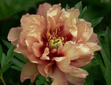 Пион Коппер Кеттл (Paeonia Copper Kettle)