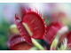 Dionaea muscipula Cross teeth