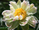 Paeonia Green Lotus