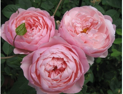 Алнвик роуз (The Alnwick Rose)