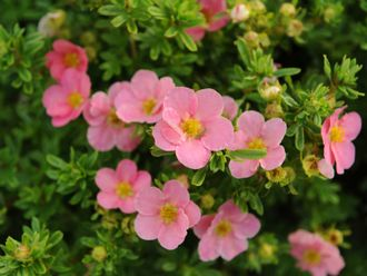 "Лапчатка ""Лавли Пинк"" / Potentilla fruticosa ""Lovely Pink"""
