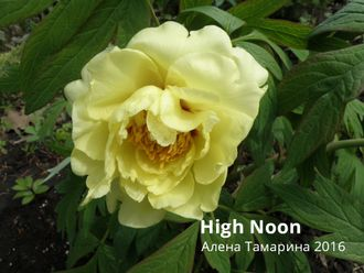 Пион Хай Нун (Paeonia High Noon)