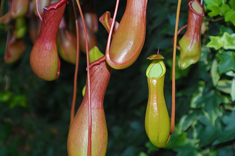 Непентес Nepenthes