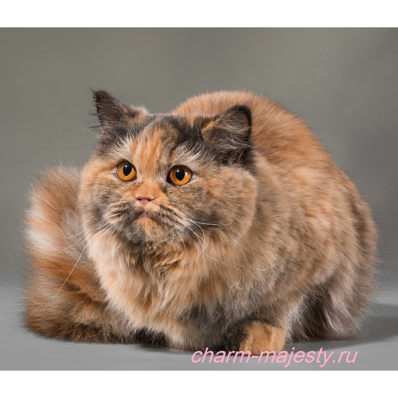 photo British longhair female carrier cinnamon cattery charm majesty