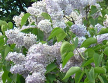 Сирень обыкновенная Дрезден Чайна (Syringa vulgaris Dresden China)