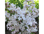 Сирень обыкновенная Поль Дешанель (Syringa vulgaris Paul Deschanel)