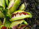 Dionaea muscipula Fuzzy tooth