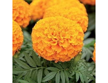Тагетес TAGETES AFRICAN TAISHAN® ORANGE