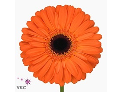 Gerbera diamond applause