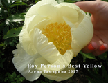 Пион Рой Персонс Бэст Йеллоу (Paeonia Roy Persons Best Yellow)