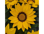 Гацания GAZANIA NEW DAY®YELLOW