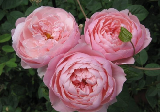 Зе Алнвик роз (The Alnwick Rose)