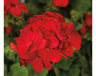 Пеларгония зональная Multibloom Red, 3 шт
