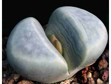 Lithops meyeri C272 (MG-1671.1) - 5 семян