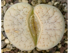 Lithops gracilidelineata C374 (MG-1596.31)  - 5 семян