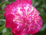 Пион Спиффи (Paeonia Spiffy)