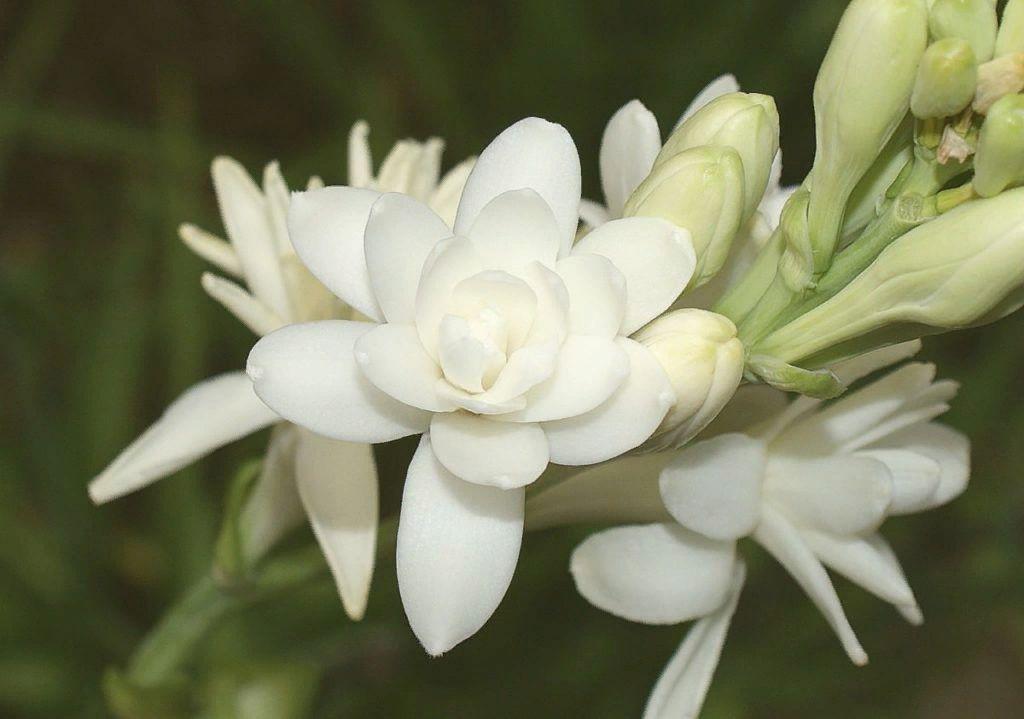 тубероза фото цветов имеют