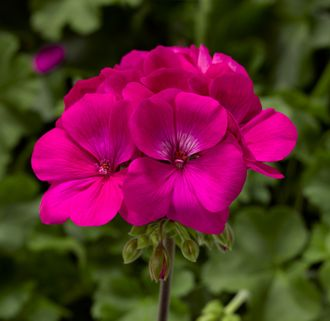 Пеларгония Pelargonium interspecific Puro Lavender Rose